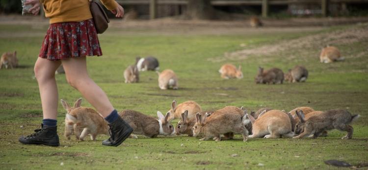 Many Rabbits on Ōkunoshima Island, Japan - 2014